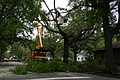 2008-04-21 Tree trimming on Gregson St 3.jpg