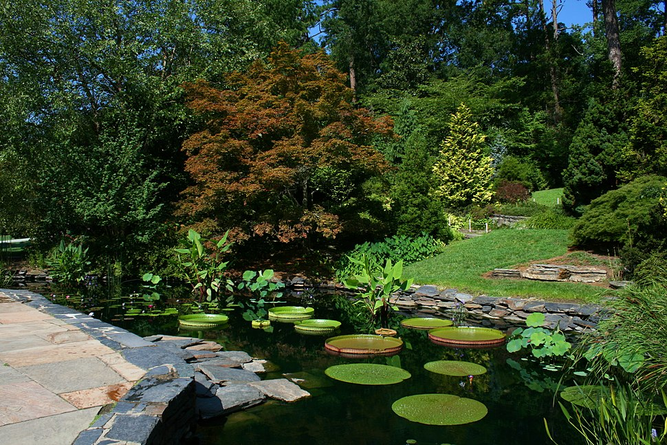 2008-07-24 Lily pond at Duke Gardens 3