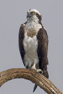 Osprey Species of bird