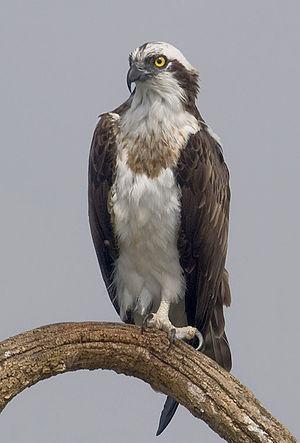 Osprey - Nominate osprey subspecies from Nagarhole National Park.