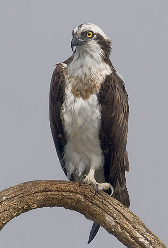 Osprey - Nominate osprey subspecies from Nagarhole National Park