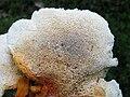 2011-06-30 Pycnoporellus fulgens (Fr.) Donk 155528.jpg