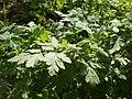 20120701Chaerophyllum temulum2.jpg
