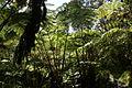 2013.10.31.113302 Hapuu pulu tree fern (Cibotium glaucum) Hawaii Volcanoes National Park Hawaii.jpg