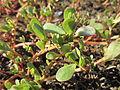 20130802Portulaca oleracea2.jpg