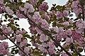 2014-04-06 樱花盛开 - panoramio (3).jpg