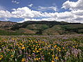 2014-06-24 12 17 54 Wildflowers east of Elko County Route 748 (Charleston-Jarbidge Road) along the border of the Mountain City and Jarbidge ranger districts in Copper Basin, Nevada.JPG