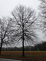 2014-12-24 14 53 48 Pin Oak along Sabrina Drive in Ewing, New Jersey.JPG