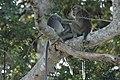 2014 Borneo Luyten-De-Hauwere-Crab eating Macaque-05.jpg