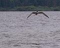 2016.07.17.-24-Westensee--Flussseeschwalbe im Flug.jpg