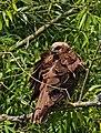 2017.07.19.-03-Grosser Glubigsee-Wendisch Rietz--Rohrweihe-Weibchen.jpg