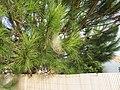 2018-01-16 Processionary pine caterpillar silk nest, Albufeira (1).JPG
