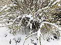 2018-03-21 13 13 53 A Forsythia covered in snow while flowering along Tranquility Court in the Franklin Farm section of Oak Hill, Fairfax County, Virginia.jpg