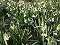 2021-04-08 18 14 39 Summer Snowflakes blooming along a stream in a wooded area within the Franklin Glen section of Chantilly, Fairfax County, Virginia.jpg