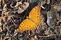 296紅擬豹斑蝶7(李淑惠攝) (12943961713).jpg