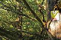 2 Eiben in Hirschenwies beide Stämme 2014-09 NÖ-Naturdenkmal GD-141.jpg