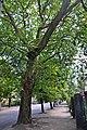46-101-5019 Lviv Kopystynskoho 9 Plane Tree RB.jpg