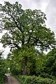 46-215-5014 Piddnistriany Age-old Oak Tree RB.jpg