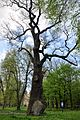 46-258-5025 Nemyriv Age-old Oak Tree RB.jpg