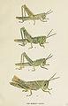 84-Indian-Insect-Life - Harold Maxwell-Lefroy - Acridium-Succinctum.jpg