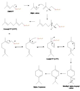 Terpinene - Image: A terpinene Biosynthesis