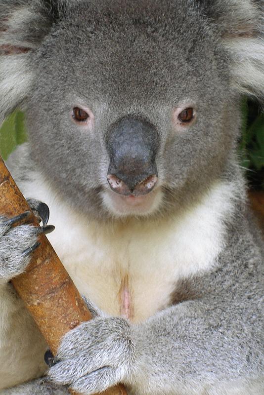 A364, Lone Pine Koala Sanctuary, Queensland, Australia, koala, 2007