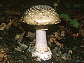 AMANITA PANTHERINA (D.C. Fr.) Krombh. (5990131455).jpg