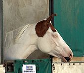 APHA Mare1.jpg