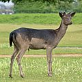 A Black Fallow Deer seen in Bushy Park 007(1).jpg