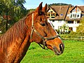 A Brown Horse - panoramio.jpg