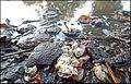 A Lille Marrons d'Inde toxiques écrasés toxic Common Horse Chestnut 07.jpg
