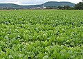 A Sea of Turnips - geograph.org.uk - 542545.jpg