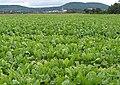 A Sea of Turnips - geograph.org.uk - 542545.jpg