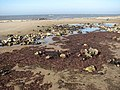 A bed of seaweed - geograph.org.uk - 794873.jpg
