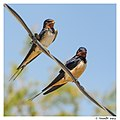 A couple of barn swallows (15526861001).jpg