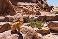 A feral cat on the steps to Ed Deir, Petra, Jordan, May, 2015.jpg