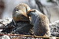 A ground squirrel sniffing another squirrel (192ff5d0-08fd-481e-8bdc-ed4f7299f09d).jpg