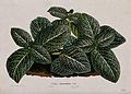 A plant (Fittonia argyroneura); leafy plant. Chromolithograp Wellcome V0044411.jpg