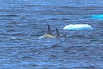 A small pod of Killer Whales (Orcinus orca) amongst the bergs E of Hope bay & the Antarctic Peninsula. (25366387074).jpg