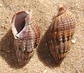 Ab mollusca 36.jpg