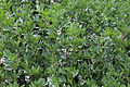 Abbess Beauchamp and Berners Roding, Essex England - field crop.JPG