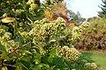Abelia chinensis - Brooklyn Botanic Garden - Brooklyn, NY - DSC07952.JPG