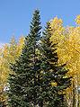 Abies lasiocarpa subsp arizonica Santa Fe.jpg
