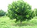 Abricot des Antilles 06.JPG
