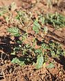 Abutilon malvifolium seedling.jpg