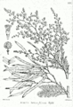 Acacia leucophloea Bra27.png