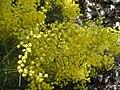 Acacia meinantha.JPG