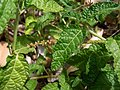 Acalypha nemorum Sydney.jpg