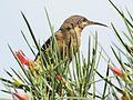 Acanthorhynchus tenuirostris -Canberra, Australia -female-8 (1).jpg