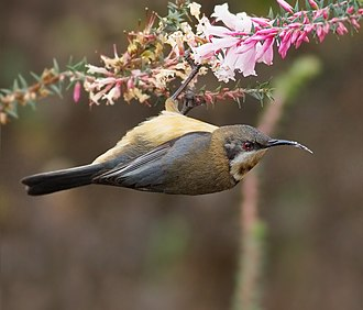 Honeyeater - A female eastern spinebill feeding. Honeyeaters typically hang from branches while feeding on nectar.
